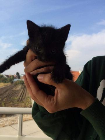 Dve čierne mačička