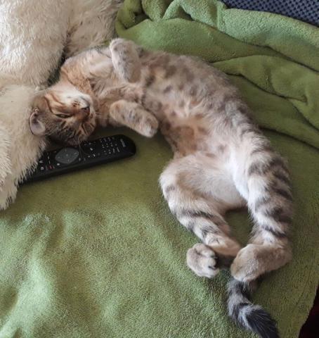 krásna mačička chlpatý